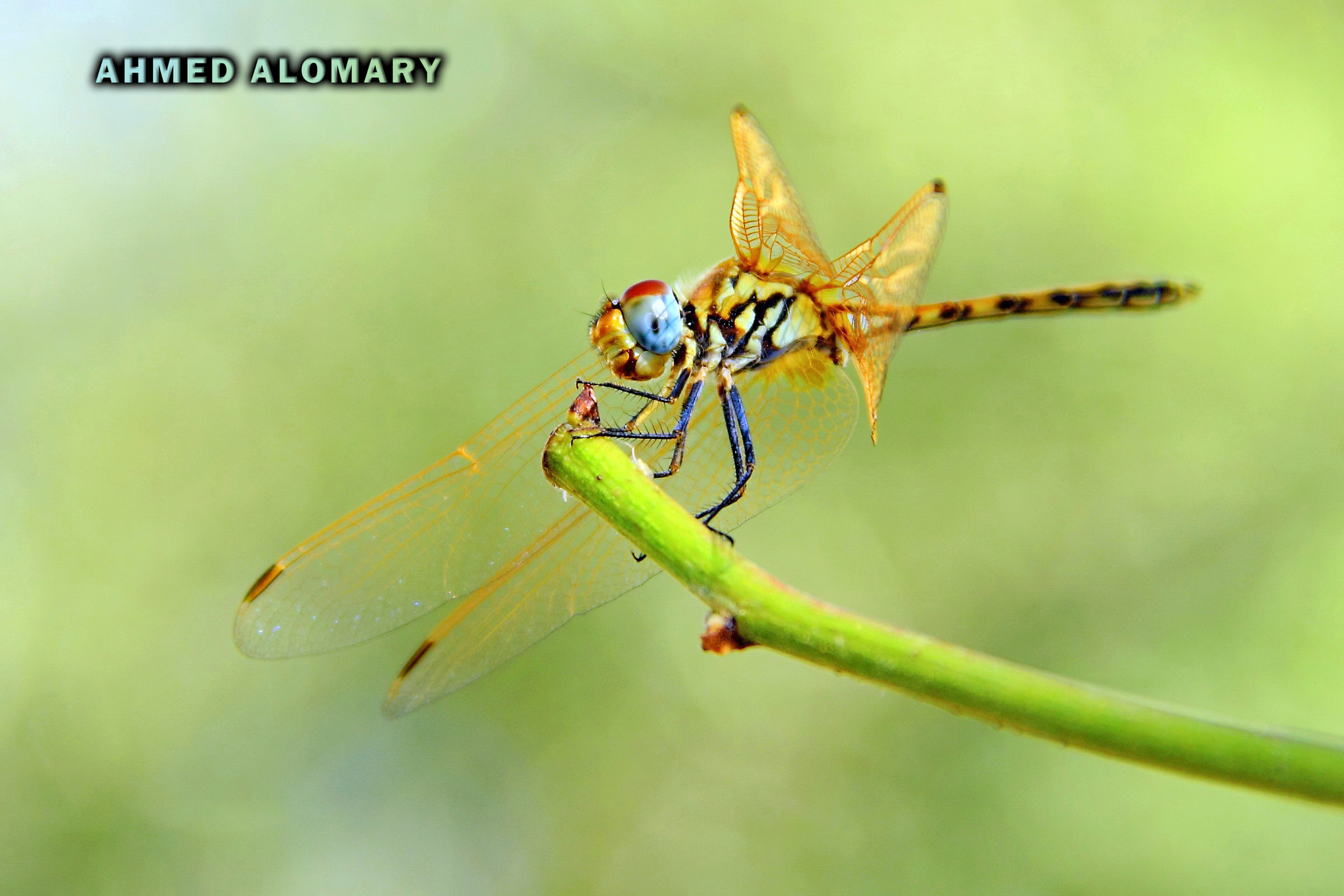Photograph dragonfly by Ahmed Alomary on 500px