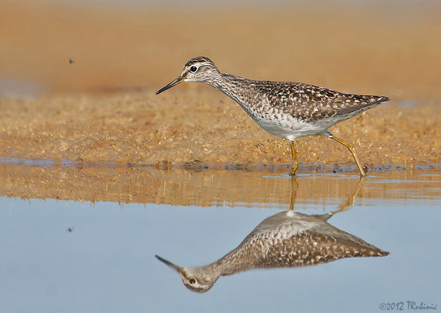 Photograph Wood sandpiper by Tomica Rubinić on 500px