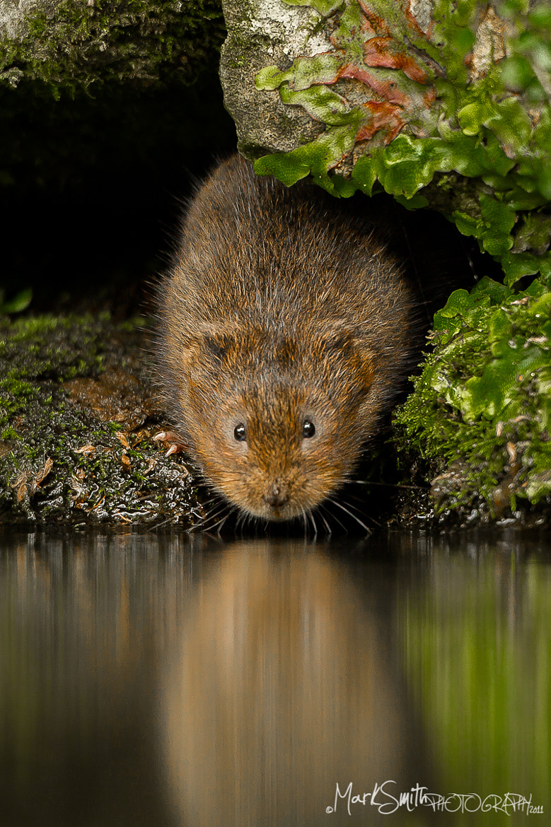 Photograph European Water Vole Arvicola amphibius  by Mark Smith on 500px