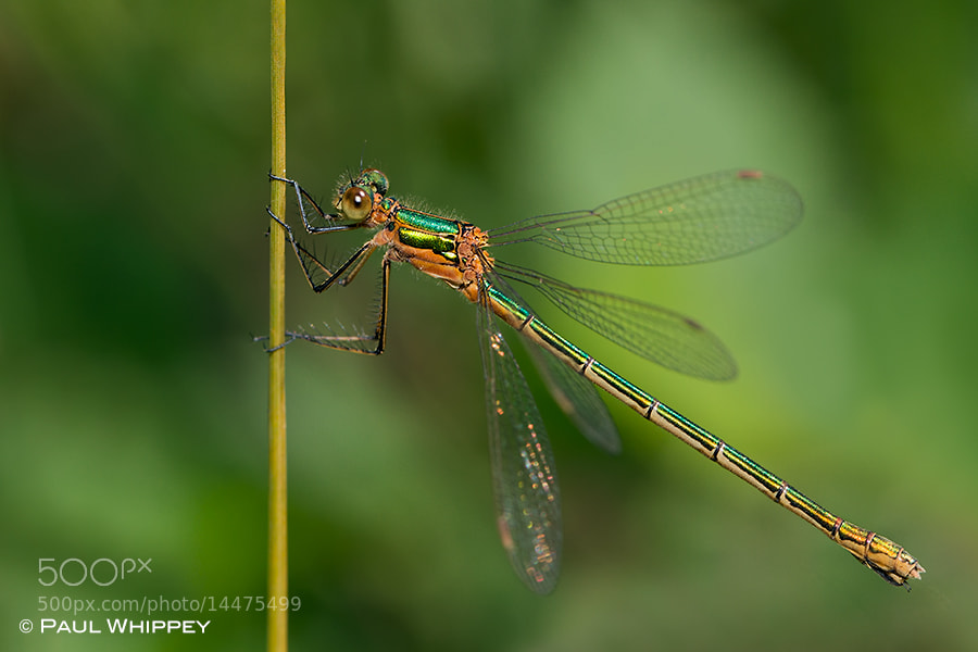 Photograph Emerald damselfly (lestes sponsa) by Paul Whippey on 500px