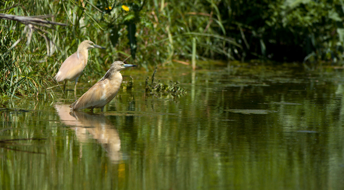 Photograph Squacco Heron (Ardeola ralloides) by Felix Rehsteiner on 500px