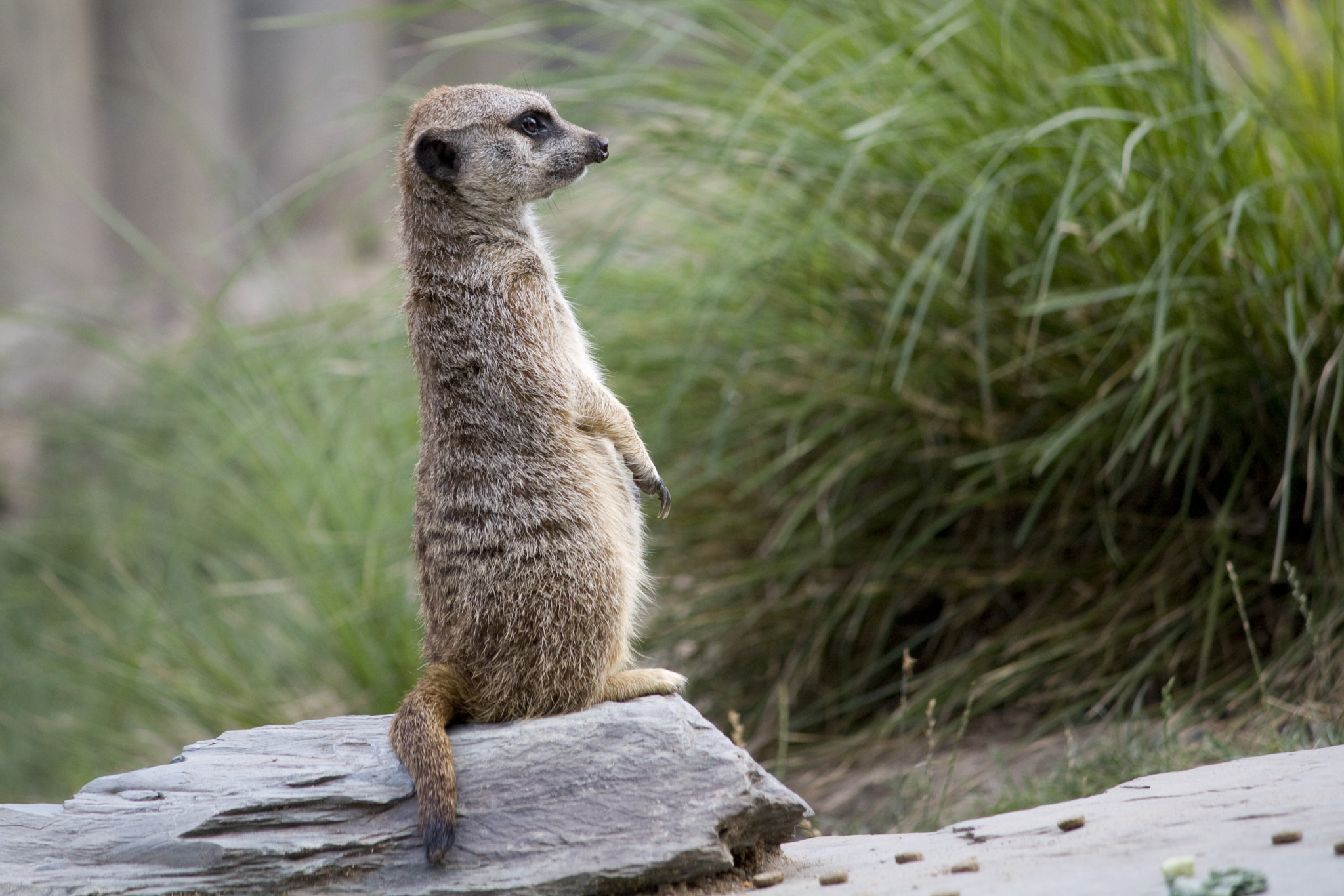 Photograph Meerkat standing by Sébastien Talbot on 500px