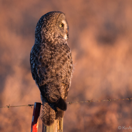 Great Gray Owl, Nikon D4S, AF-S DX VR Zoom-Nikkor 18-55mm f/3.5-5.6G