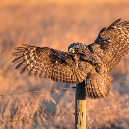 Great Gray Owl take, Nikon D4S, AF-S DX VR Zoom-Nikkor 18-55mm f/3.5-5.6G