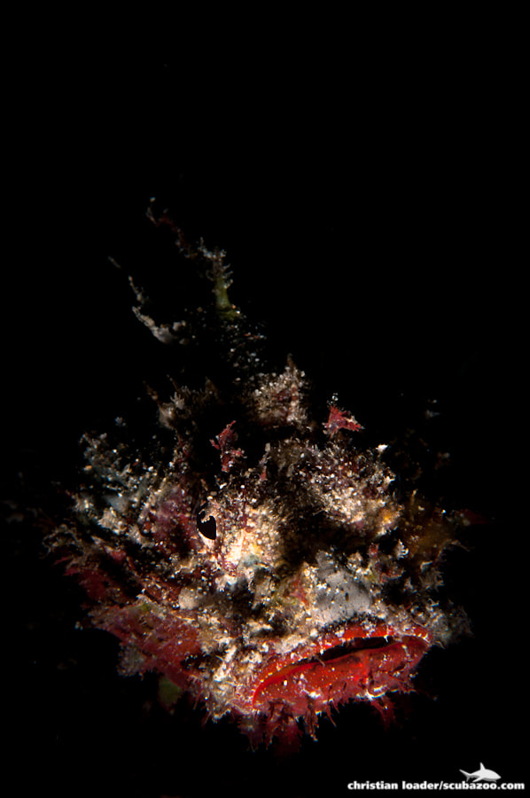Photograph Snooted Scorpionfish by Christian Loader on 500px