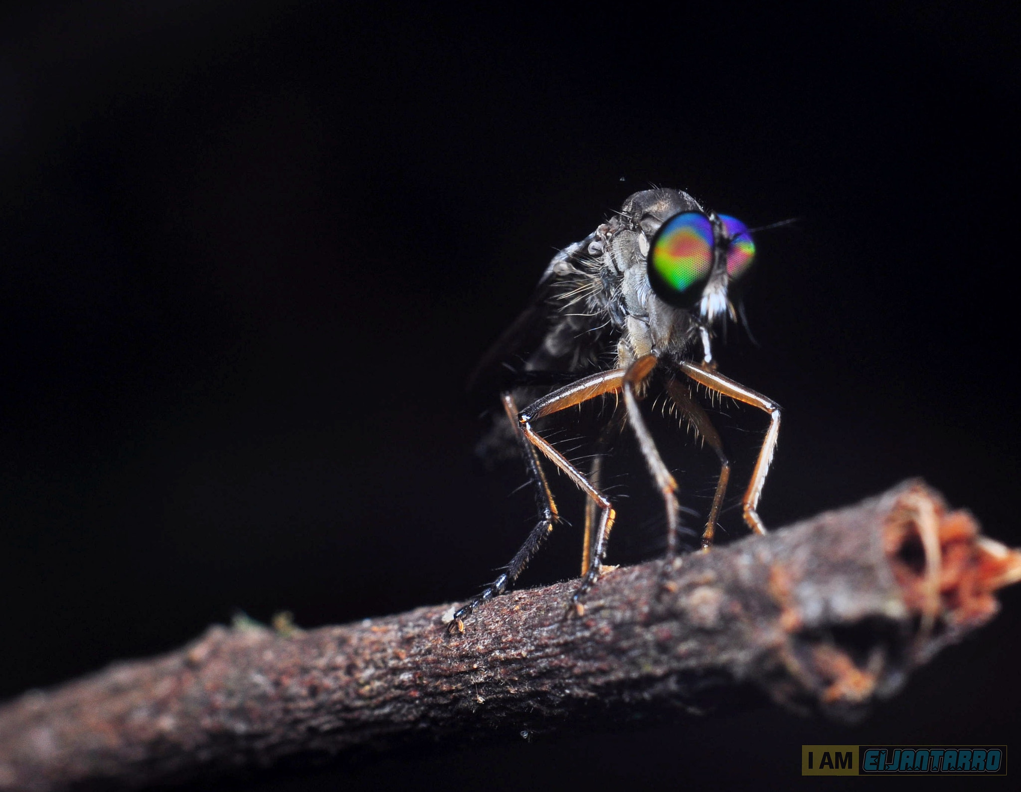 Photograph colourfull robberfly eye by Eijan Tarro on 500px