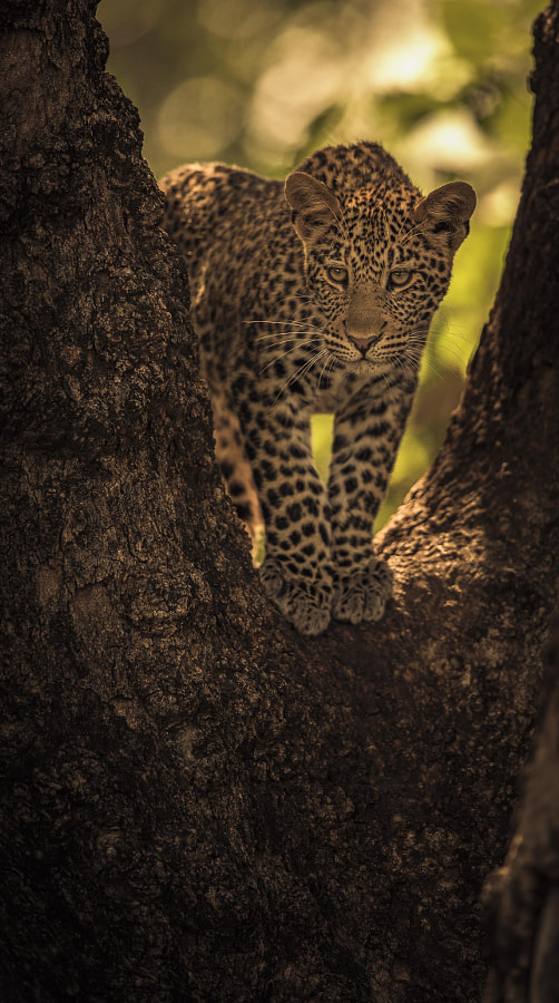 Leopard cub by Chris Fischer on 500px