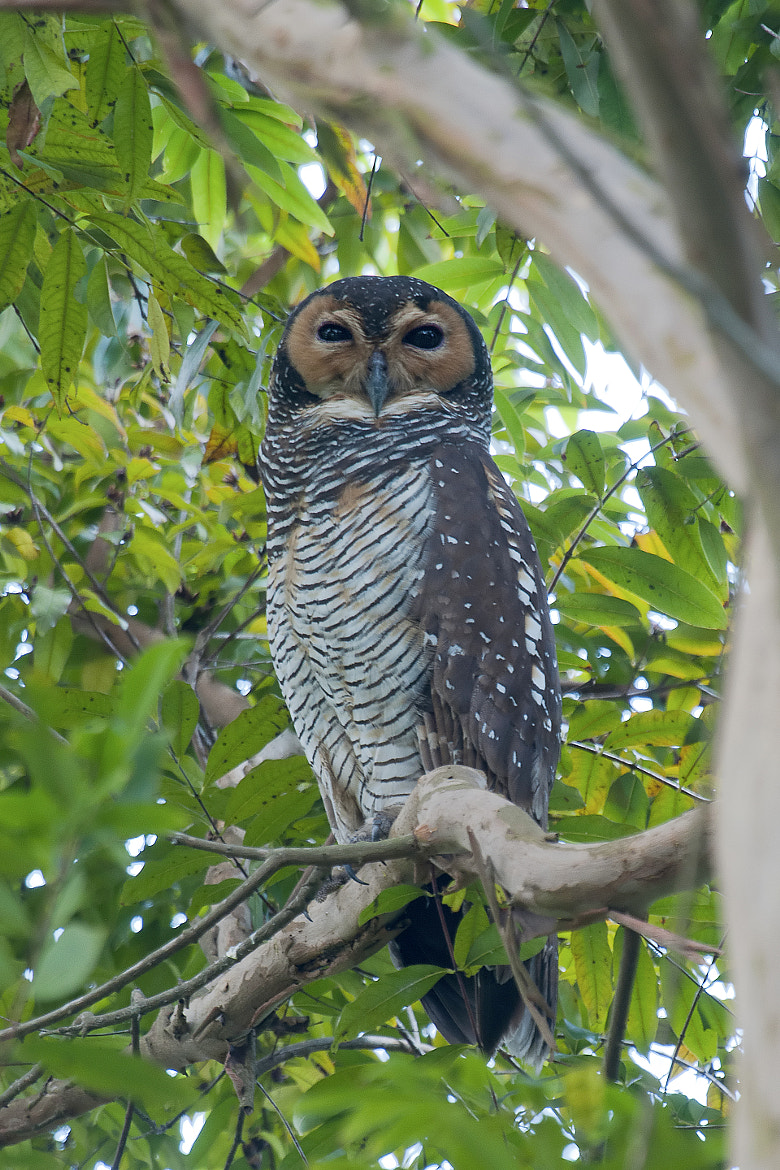 Photograph Spotted Wood Owl by Allan Seah on 500px