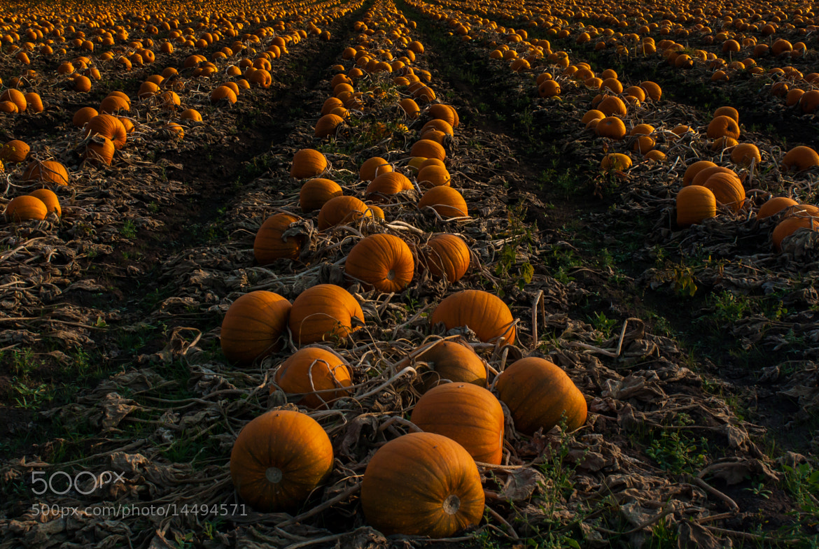 Photograph Pumpkin Patch by Shaun Groenesteyn on 500px