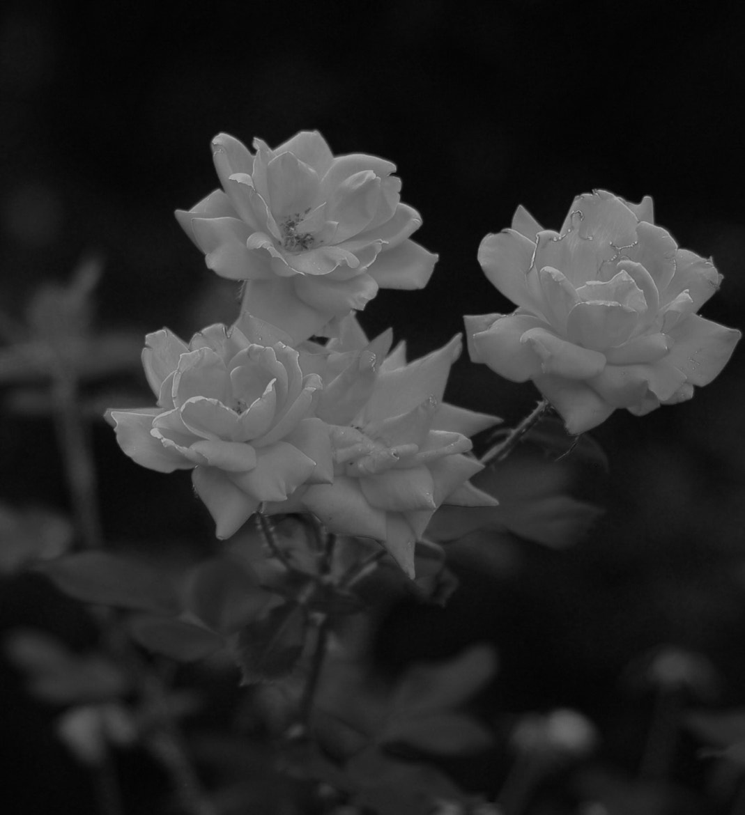 Photograph the silent roses by Aruna Dangol on 500px