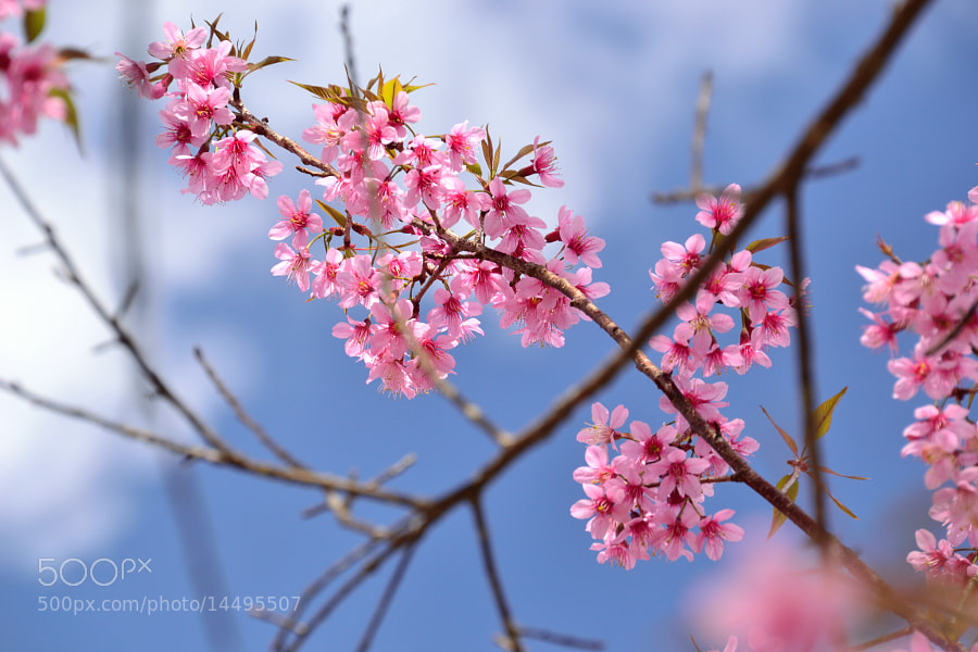 Photograph Little Sakura in Thailand by Sirinun Kaewchampa on 500px