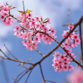 Little Sakura in Thailand by Sirinun Kaewchampa (SirinunKaewchampa)) on 500px.com