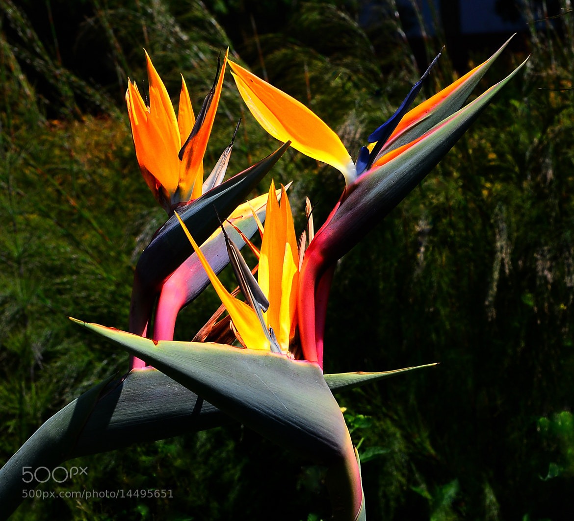 Photograph Bird of Paradise by Cris T on 500px