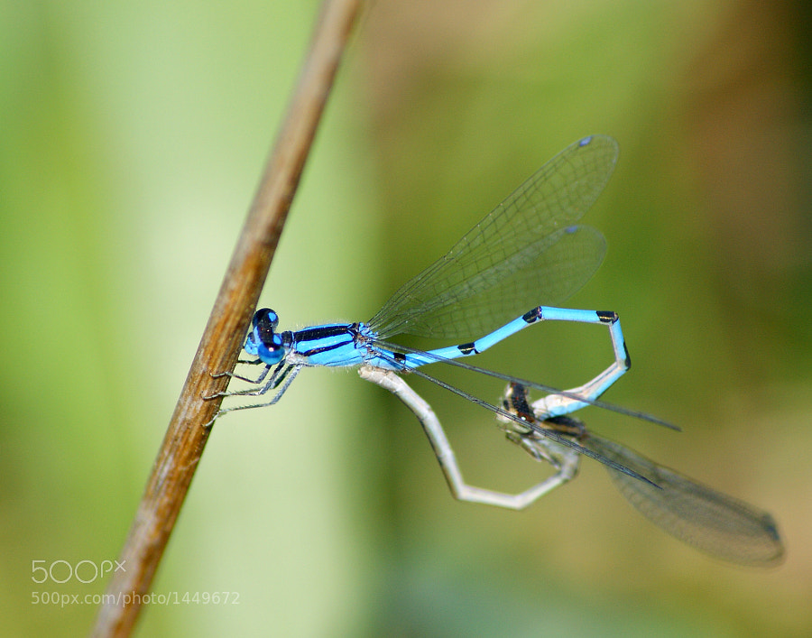 A pair of mating Bluet damselflies