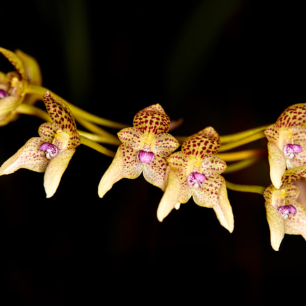The Small Spotted Bulbophyllum