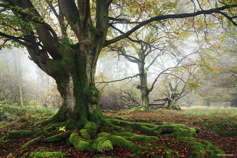 Ancient Beech by Kilian Schönberger on 500px.com