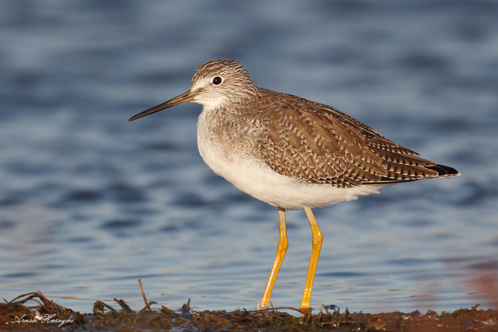 Photograph yellowlegs by Ari Hazeghi on 500px