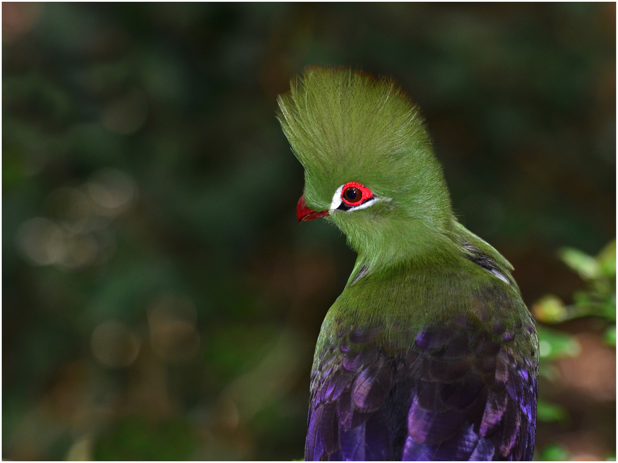 Photograph Green Turaco 2 by Christopher van Zyl on 500px