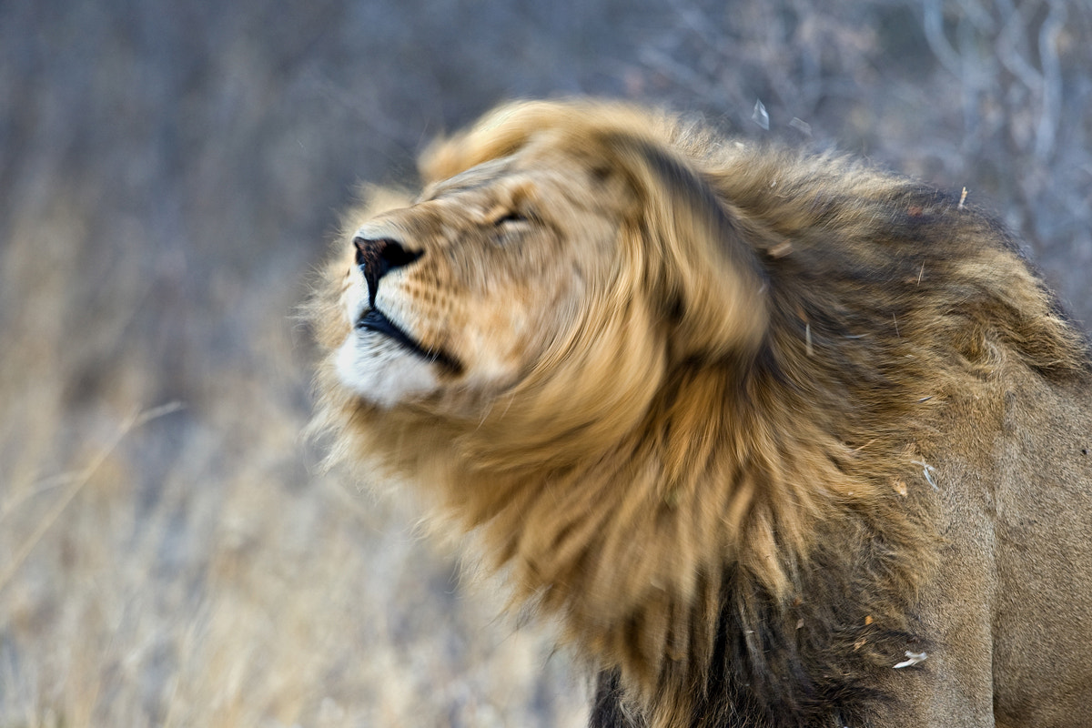 Photograph Lion grooming by Marc MOL on 500px