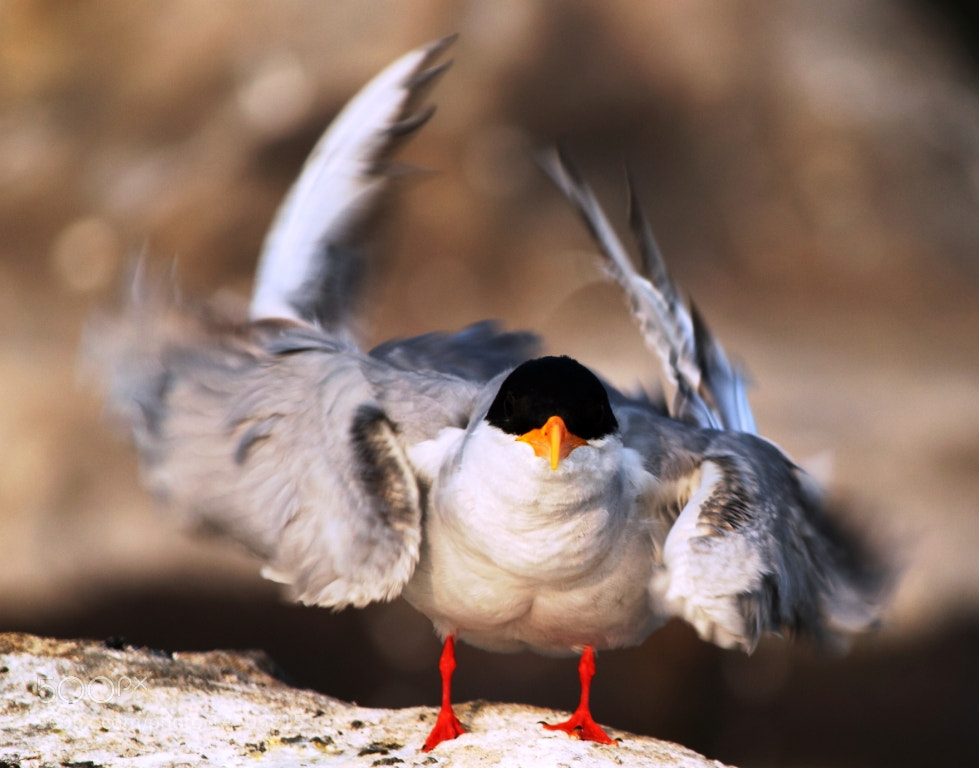 Photograph River Tern Energising by udhay krishnamurthy on 500px