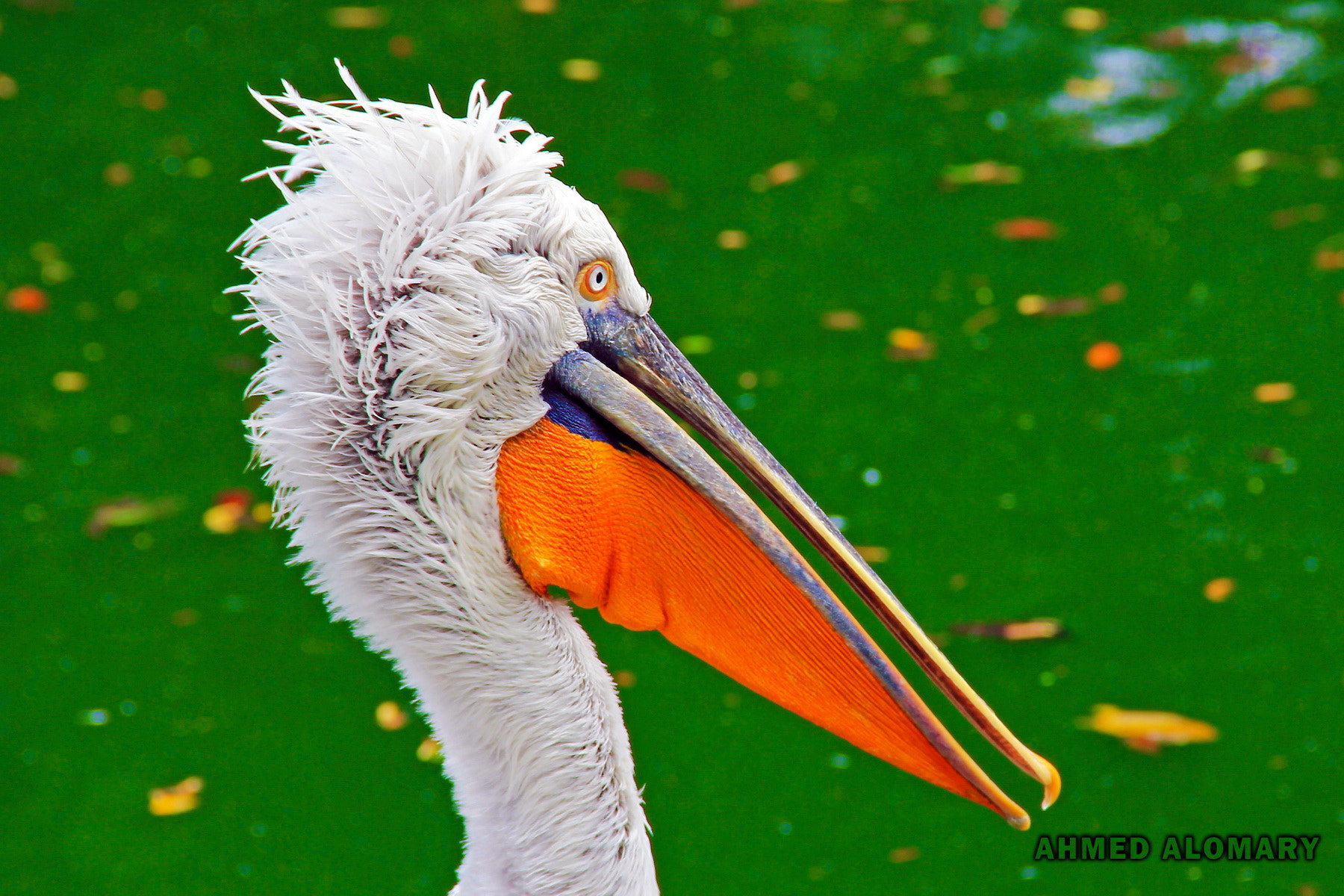 Photograph pelican portrait by Ahmed Alomary on 500px