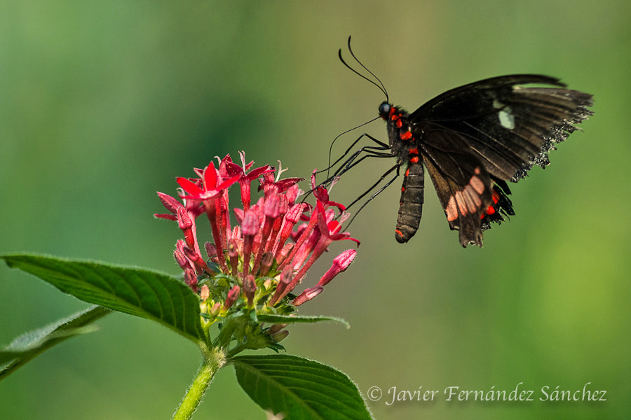 Photograph Parides iphidamus by Javier Fernández Sánchez on 500px