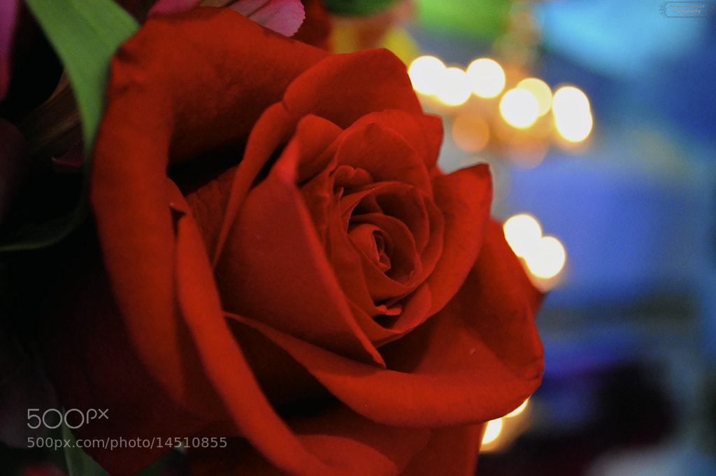 Photograph Red Rose by Arun Kumar Duddilla on 500px