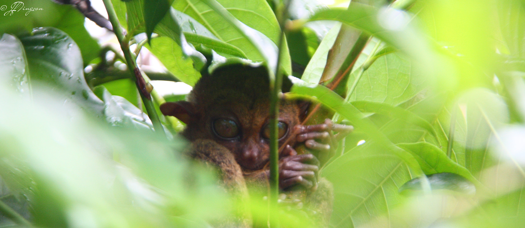 Photograph Bohol Tarsier by Jun Fritz Tingson on 500px