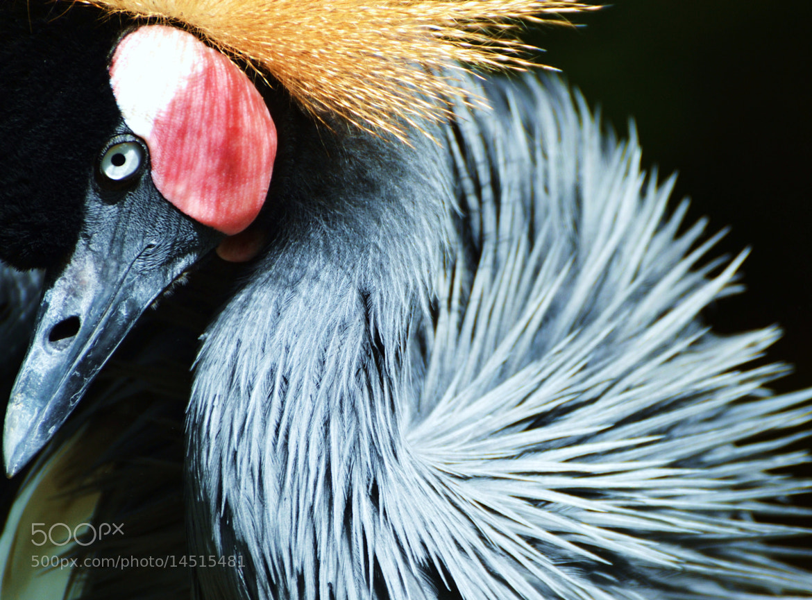 Photograph African Crowned Crane by Michael Fitzsimmons on 500px