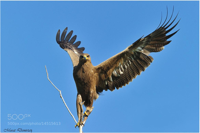 Photograph Lesser spotted eagle - Aquila pomarina - Küçük orman kartalı  by Murat  Demirtas on 500px