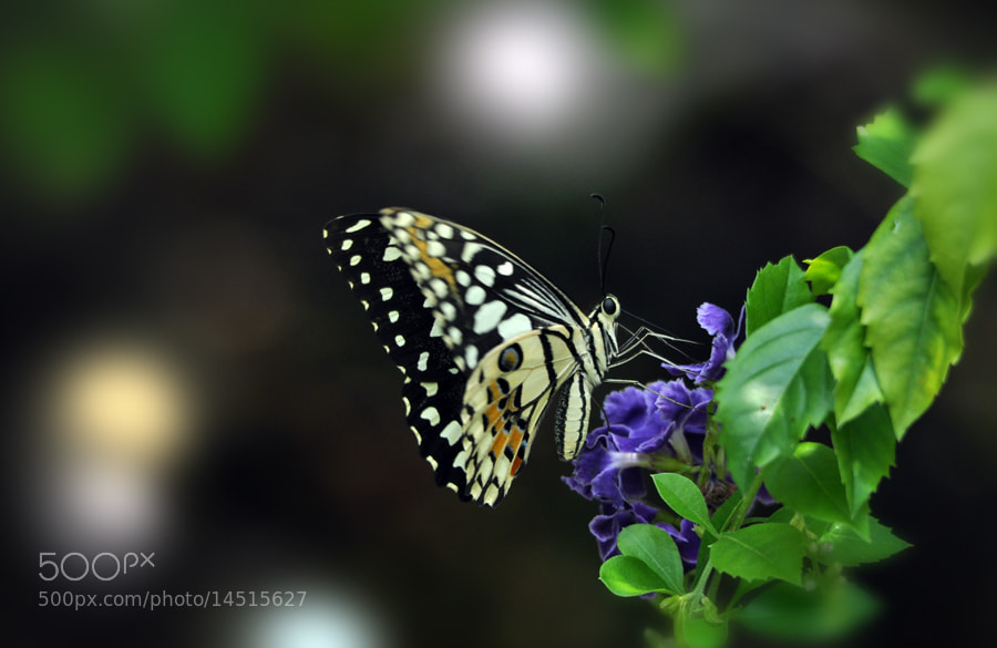 Photograph Butterfly - 2 by Khoo Boo Chuan on 500px