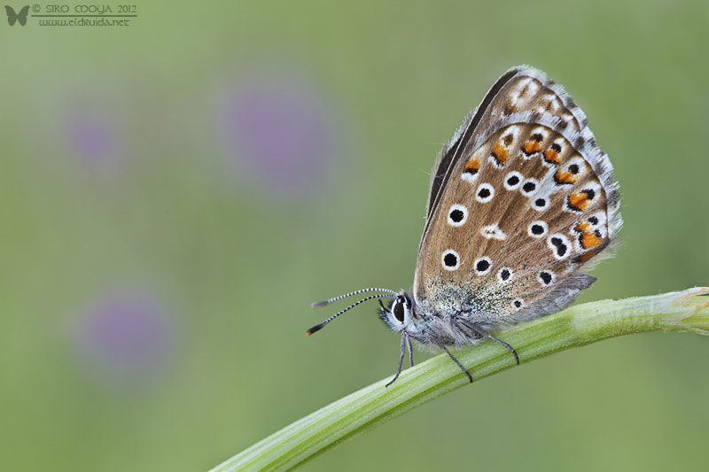 Photograph Polyommatus bellargus (Adonis Blue) by Siro Moya on 500px