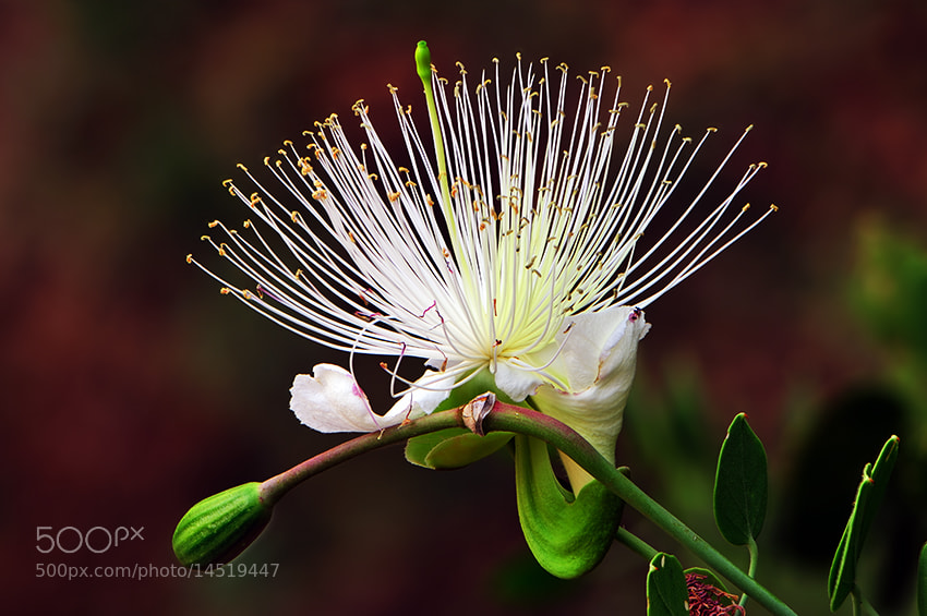 Photograph }{  Elegance flower  }{ by almalki abdullrahman on 500px