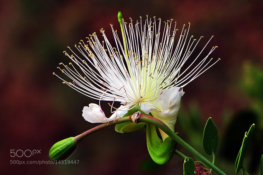 Photograph }{  Elegance flower  }{ by almalki abdullrahman on 500px