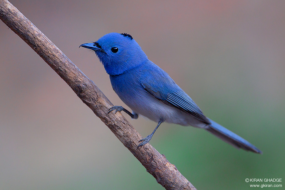 Photograph Black Naped Monarch by Kiran Ghadge on 500px