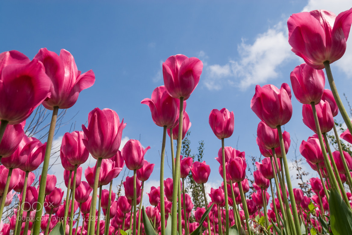 Photograph Tulips  by Jos Didden on 500px
