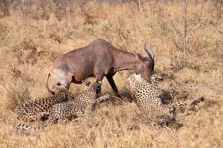 Photograph Cheetah brothers Vs Tessebe by Hari Santharam on 500px