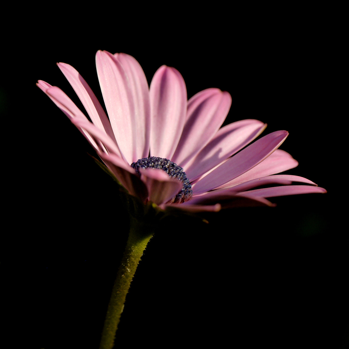 Photograph Pink on Black by John Flick Purchase on 500px