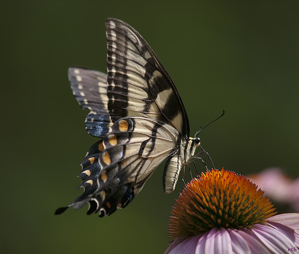 Photograph Tiger Swallowtail on Coneflower by Robert Baucom on 500px