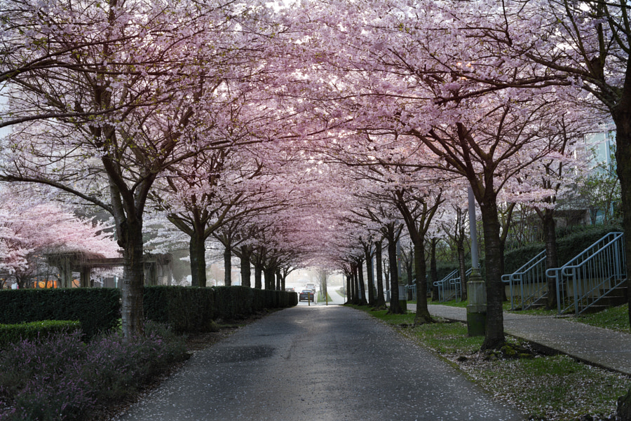 Cherry Blossom Alley by Dustin Small on 500px.com