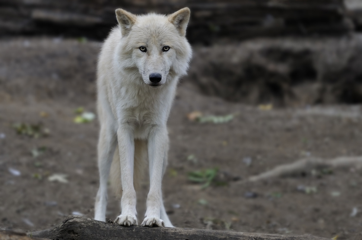 Photograph Facing an Arctic Wolf by Josef Gelernter on 500px