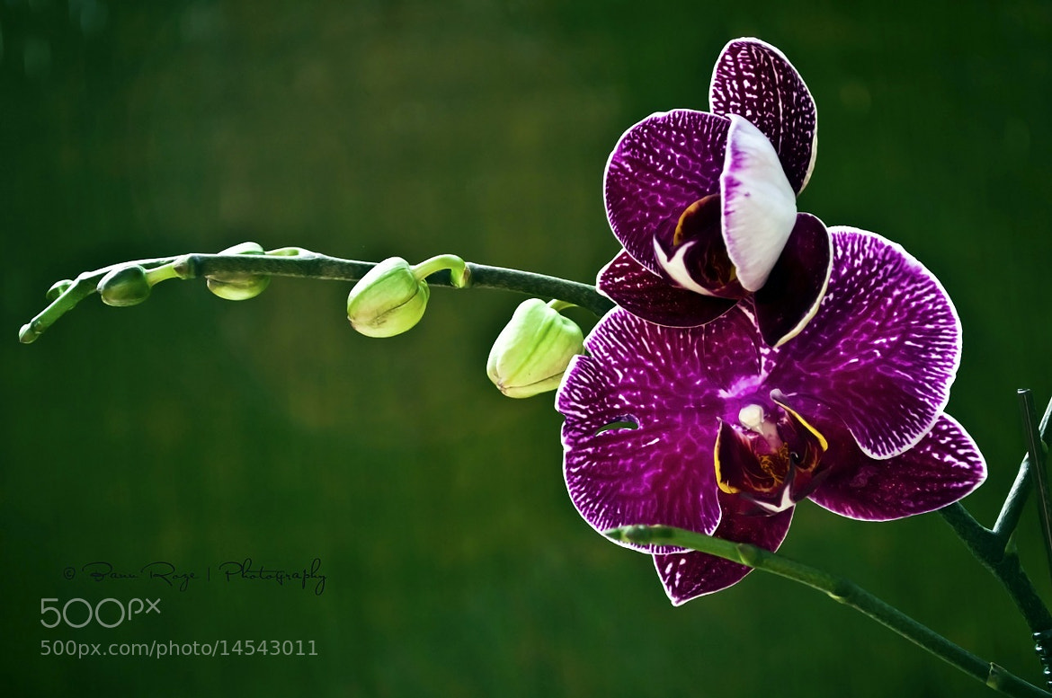 Photograph Orchid ♥ by Reihaneh Mahdinejad on 500px