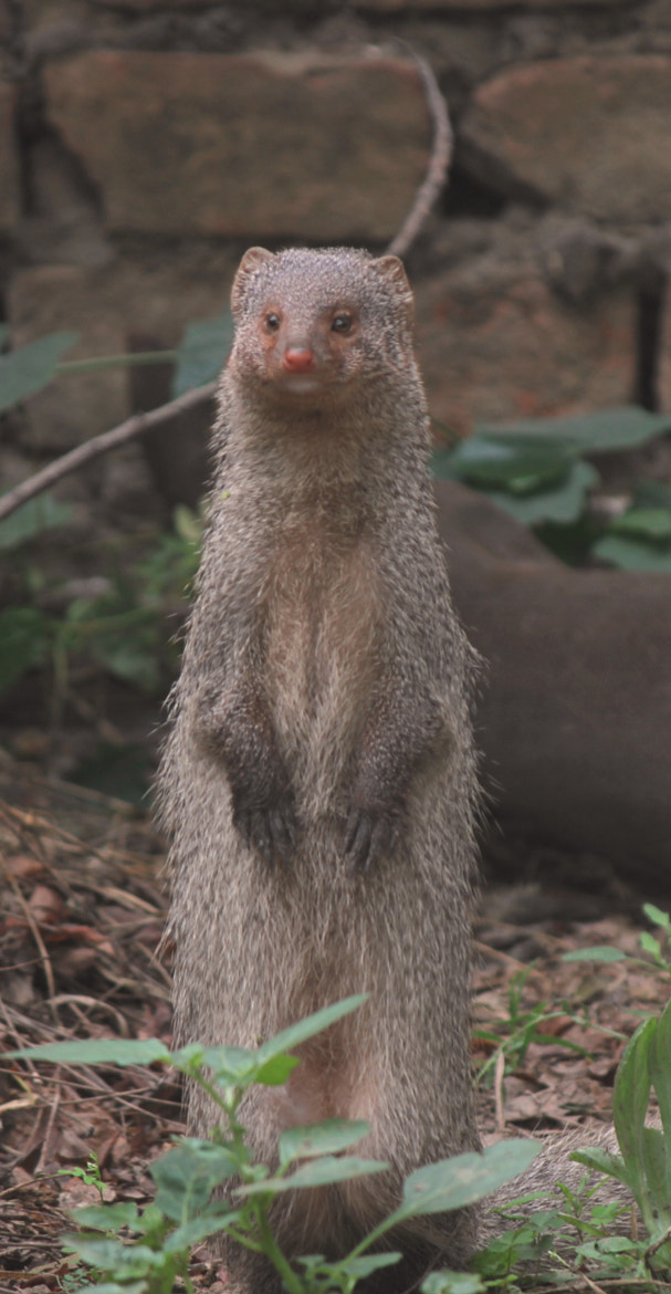 Photograph Mongoose by Krishna Mohan on 500px