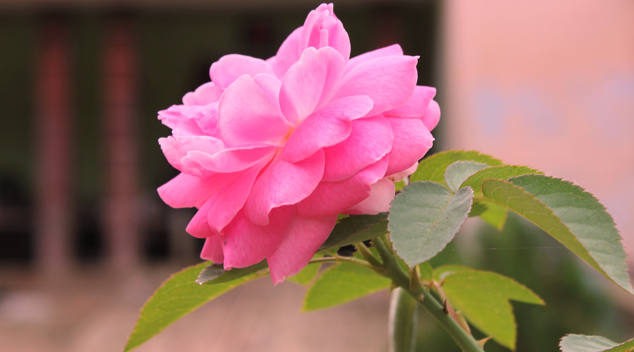 Photograph Rose by Krishna Mohan on 500px