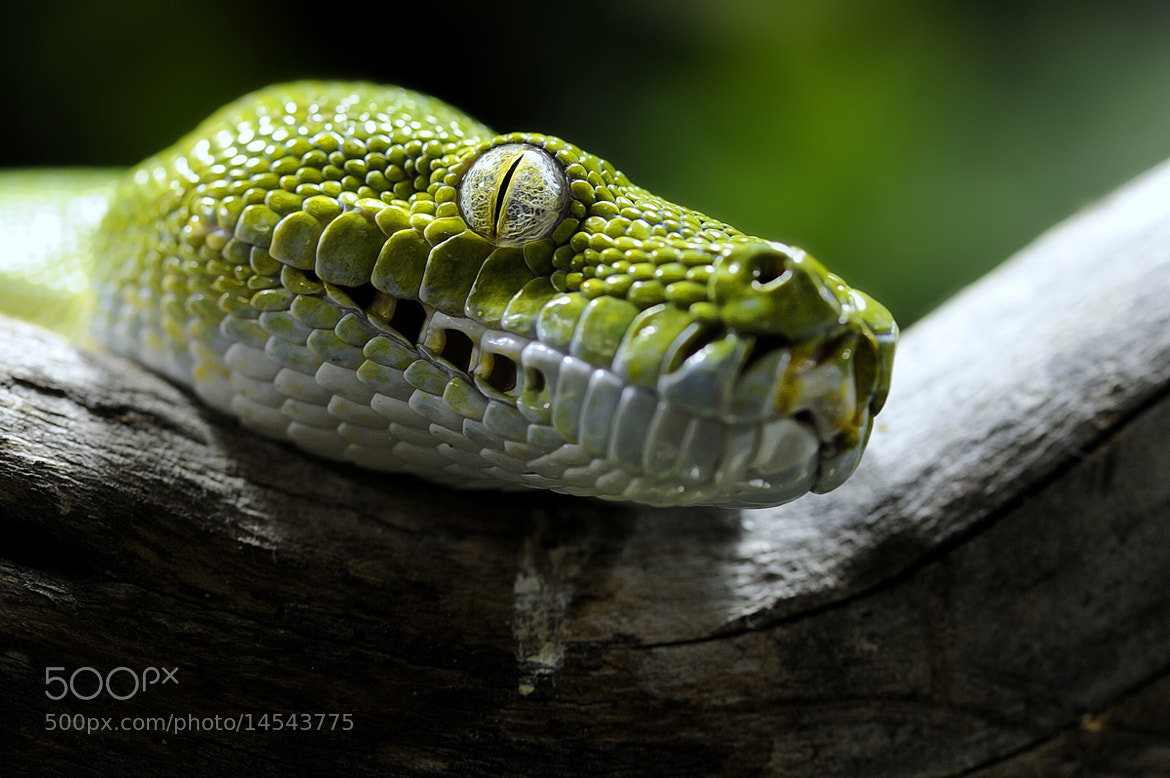 Photograph Green Python Eye by Josef Gelernter on 500px