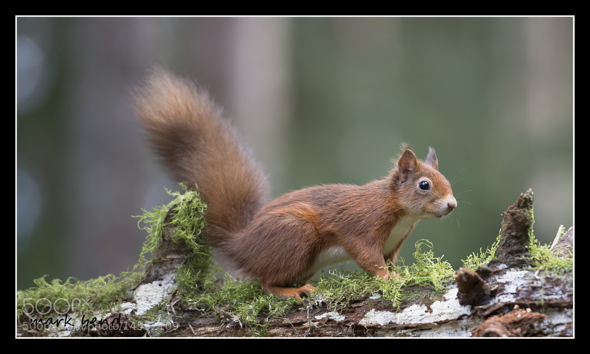 Photograph red squirrel by Mark Bend on 500px