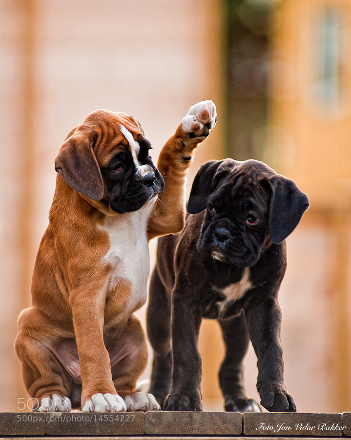 how to train a boxer dog puppy