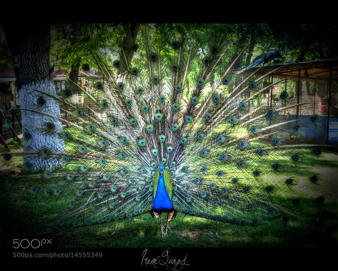 Photograph Peacock opened its feathers by İrem Güneş on 500px