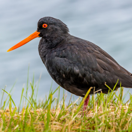 Variable Oystercatcher, Stewart Island,New Zealand