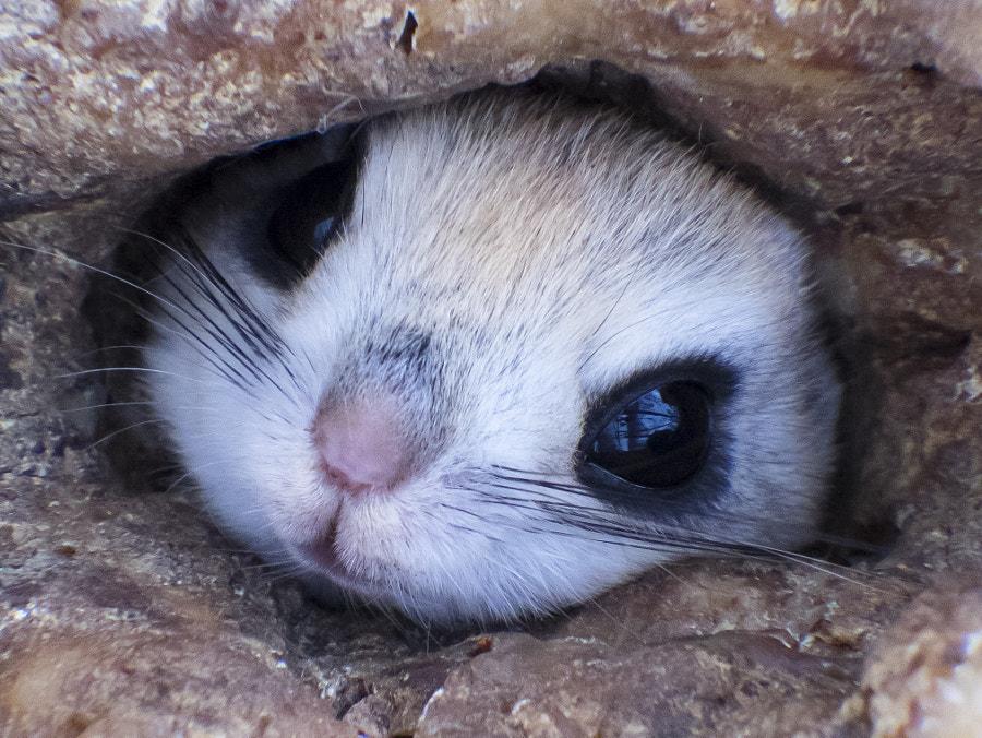 巣穴から顔を出す、かわいいエゾモモンガ by Kousuke Toyose on 500px.com